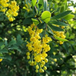 Kiseli trn - Zutikan Seme Lekovita Biljka 1.95 - 2