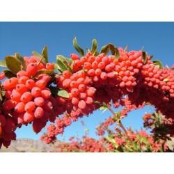 Berberis Frön medicinalväxt (Berberis vulgaris) 1.95 - 3