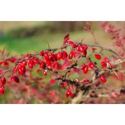 Heilpflanze Echte Berberitze, Gewöhnliche Berberitze Samen 1.95 - 4