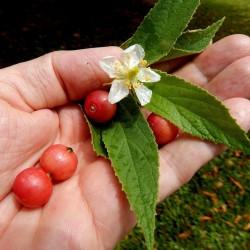 Jamajska Tresnja Seme (Muntingia calabura) 1.95 - 1