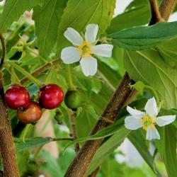 Sementes de Muntingia calabura 1.95 - 2