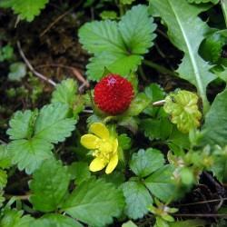 INDIJSKA JAGODA Seme (Potentilla indica) 2.35 - 2