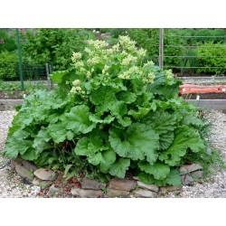 "Rhubarb Seeds ""Victoria"" (Rheum rhabarbarum) 1.85 - 2"