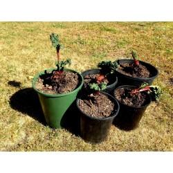 Semillas de Ruibarbo Victoria 1.85 - 3