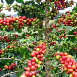 Kaffebuske - Arabisk dvärgkaffeplanta Frön 2.55 - 2