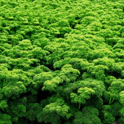 "Parsley Seeds ""Mooskrause"" 1.55 - 3"