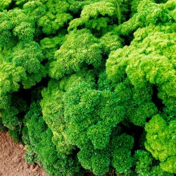 "Parsley Seeds ""Mooskrause"" 1.55 - 1"