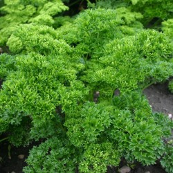 "Parsley Seeds ""Mooskrause"" 1.55 - 5"