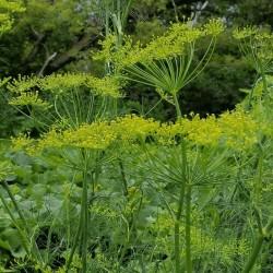 Herb Dill Bouquet Seeds 1.6 - 3