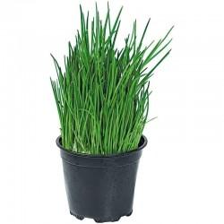 Vlasac Seme - Zacin Nad Zacinima (Allium Schoenoprasum) 2.35 - 2