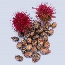 Semi di Ricino (Ricinus communis) 1.85 - 1