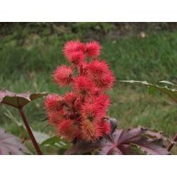 Castor Bean Seeds (Ricinus Communis) 1.85 - 3