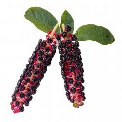 Kermesbär Frön 2.25 - 8