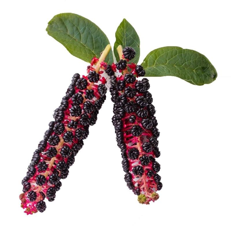 Sementes de uva-de-rato 2.25 - 8