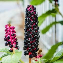 Sementes de uva-de-rato 2.25 - 3