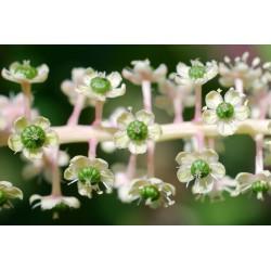 Kermesbär Frön 2.25 - 7