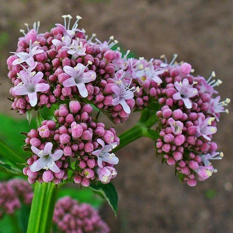 Sementes Valeriana da planta medicinal 2.05 - 1
