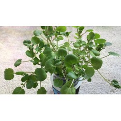 Echte Brunnenkresse Samen, Wasserkresse - Heilpflanze 2.45 - 5
