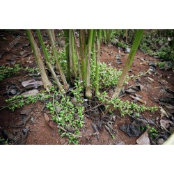 Graines de CARDAMOME vert 1.95 - 3