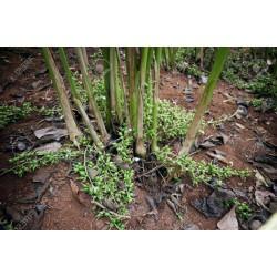 Semillas de CARDAMOMO verde 1.95 - 3