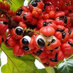 Semillas de Guaraná (Paullinia Cupana) 5 - 1