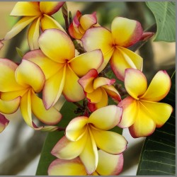 "Plumeria Frangipani Samen ""Orangelight"" 2.5 - 2"