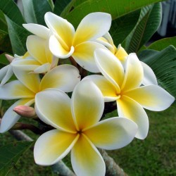 "Graines de Plumeria ""Yellow gold"" 2.5 - 1"