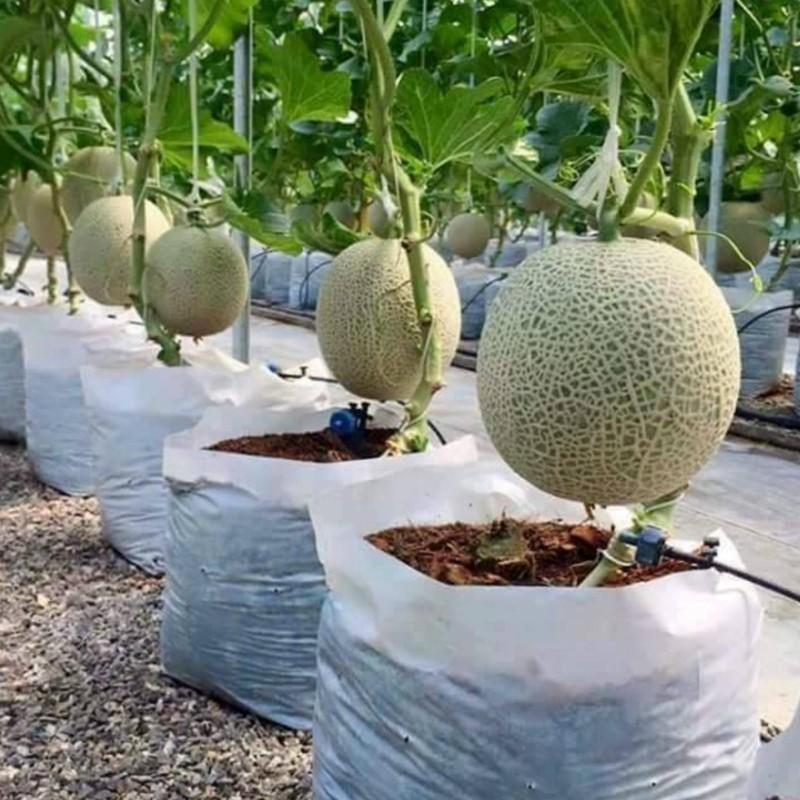 Come coltivare il melone 0 - 1