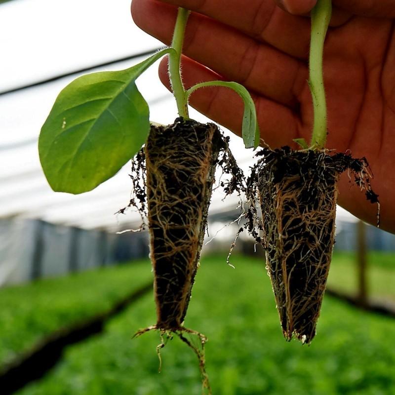 Cómo cultivar tabaco 0 - 1