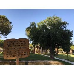 Terebinth - Turpentine Tree Seeds (Pistacia terebinthus) 2.049999 - 3