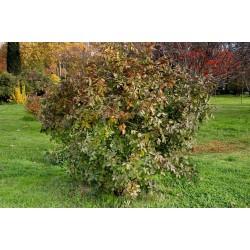 Terebinth - Turpentine Tree Seeds (Pistacia terebinthus) 2.049999 - 4