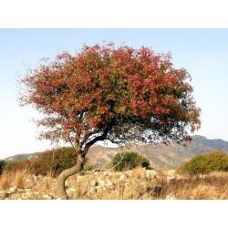 Terebinth - Turpentine Tree Seeds (Pistacia terebinthus) 2.049999 - 5