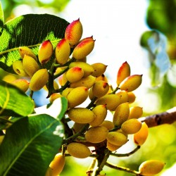 Pistazien Samen (Pistacia vera) (Antep Pistazie) 3.7 - 5