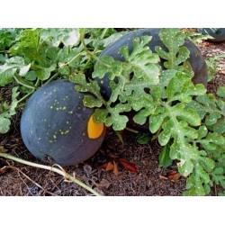 Gelbe Wassermelone Samen 'Mond und Sterne'