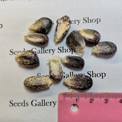 """Semillas de maíz peruano Negro violeta blanco """"K'uyu Chuspi"""" 2.45 - 10"""