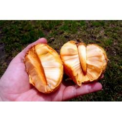 Sementes De Araticum Do Brejo fruta tropical (Annona glabra) 1.85 - 3