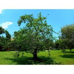 Teichapfel, Pond Apple Samen (Annona glabra) 1.85 - 4