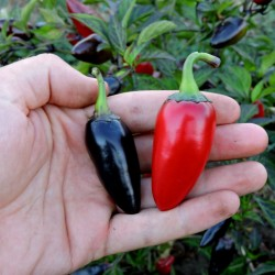 Chili Jalapeno Purple & Brown Seeds 1.75 - 2