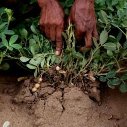 Peanut Seeds (Arachis hypogaea) 1.95 - 2