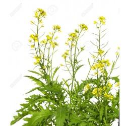 Graines de Moutarde Brune (Brassica juncea) 1.95 - 3