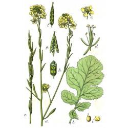 Σπόροι Καφέ μουστάρδα (Brassica juncea) 1.95 - 5