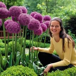 Mezcla de Allium Sensation de puerro gigante - bulbos 4.5 - 8