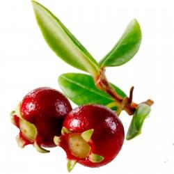 Cile Guava - Ugniberry Seme (Ugni molinae) 2.8 - 3