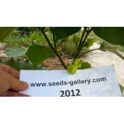 Semi di Peperoncino Habanero Kreole (C. chinense) 2 - 3