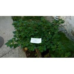 Frön Habanero Kreole (C. chinense) 2 - 4