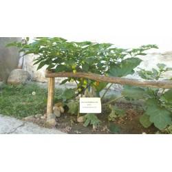 Habanero Kreole Seeds 2 - 7