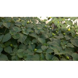 Frön Habanero Kreole (C. chinense) 2 - 8