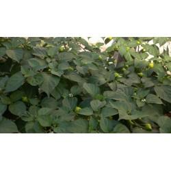 Semi di Peperoncino Habanero Kreole (C. chinense) 2 - 8