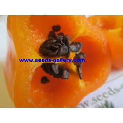 Cili Seme - Chili Inka - Rocoto Manzano 2.5 - 7