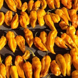 Devil's Tongue Yellow Habanero Samen 2.15 - 1